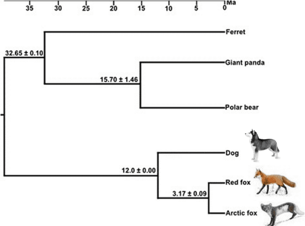 Phylogenetic relationships and divergence times among six carnivore species. Wayne et al. 1997; Wayne and Ostrander 1999; Wayne and Vila 2001) (The scale bar is in million years (Ma)